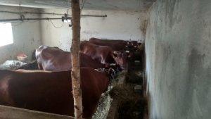 Krowy rasy Polska Czerwona