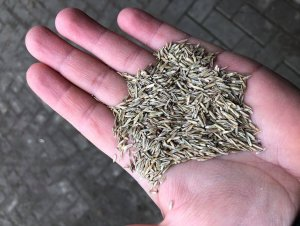Nasiona traw i koniczyny
