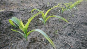 Kukurydza - 5 liści