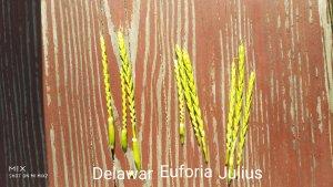 Delawar vs Euforia vs Julius
