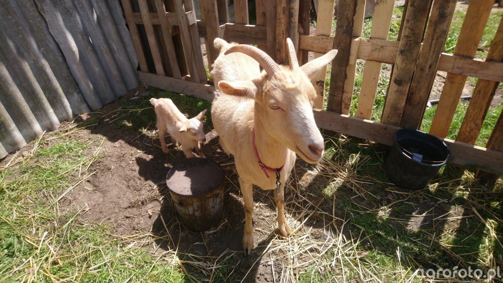 Koza 🐐 z młodą