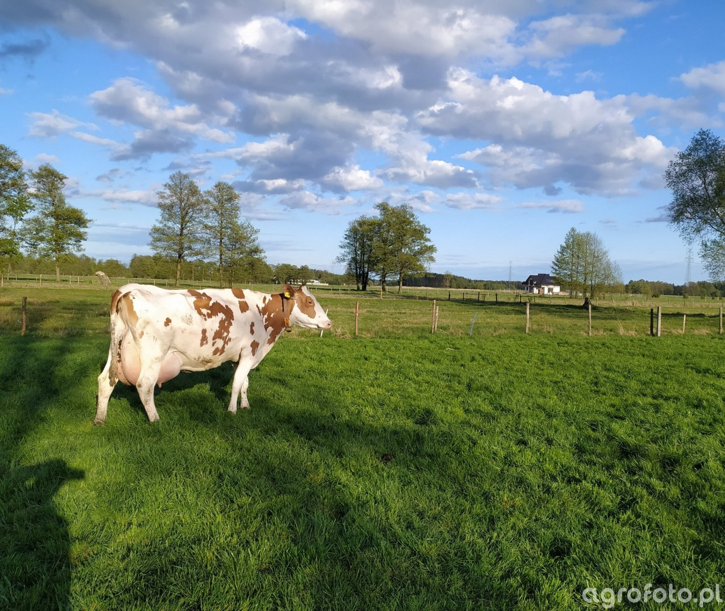 Krowa Estonka