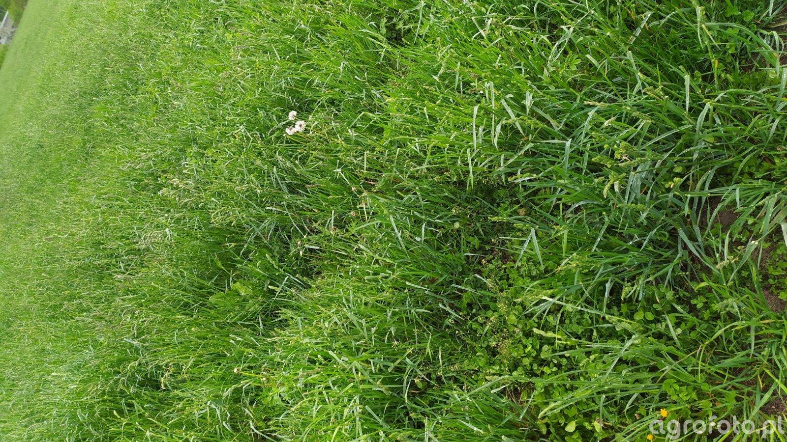 Trawa z lucerną