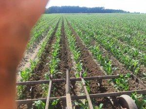 Spulchnianie gleby w kukurydzy