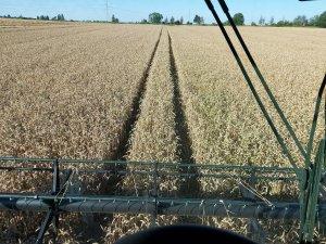 czas na pszenicę