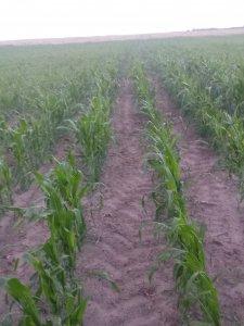 Kukurydza Opoka po życie