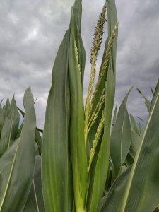 Wiecha kukurydzy