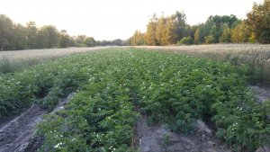 Ziemniaki Bard i Orlik