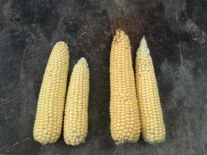 Kukurydza Codiese vs Rosomak