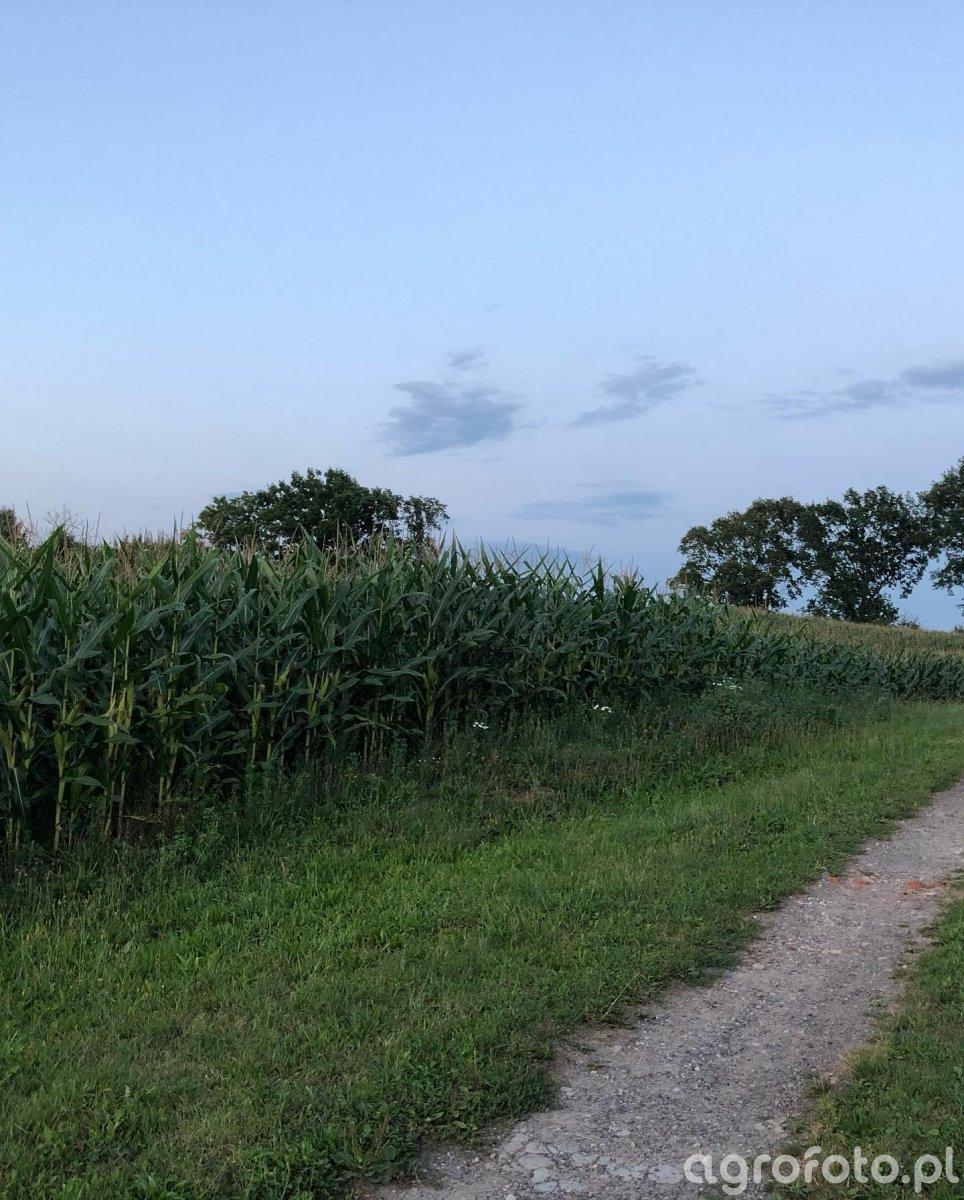 Kukurydza po siewie ST