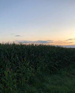 Kukurydza ST w uzytek zielony