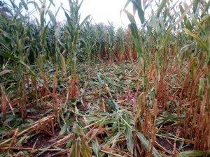 Kukurydza-żerowanie dzików