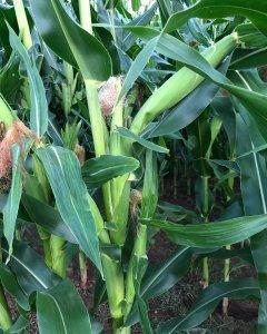Wielopalczastość kukurydzy