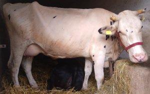 Krowa rasa H0 na sprzedaż