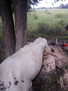 krowa w potrzasku