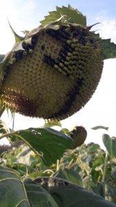 Słonecznik oleisty