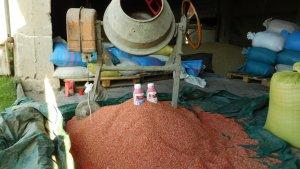 Zaprawianie pszenżyta Borowik