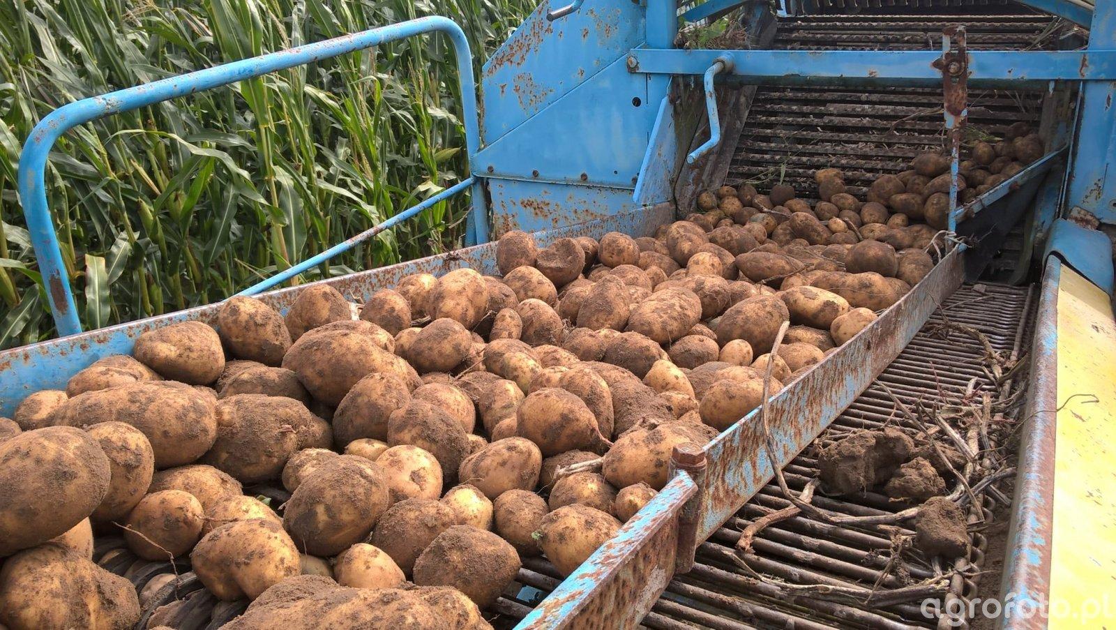 Ziemniaki 2020