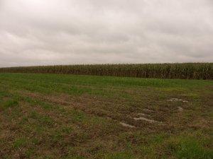 Kukurydza kentos kws nowość