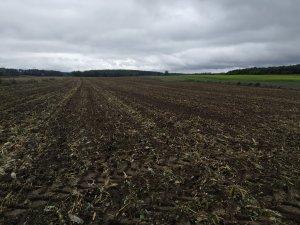 Uprawa po kukurydzy