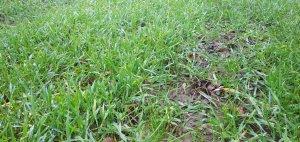 żyto na kiszonkę z trawą.i lucerną