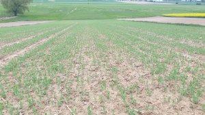 Groch siewny na stanowisku po kukurydzy
