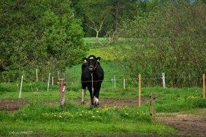 Krowa nrf