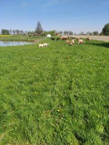 Krowy mamki z cielakami