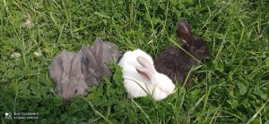króliki