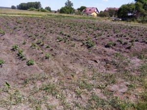 Ogród ziemniaczany