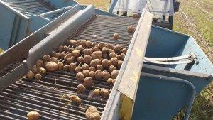 Ziemniaki 2021