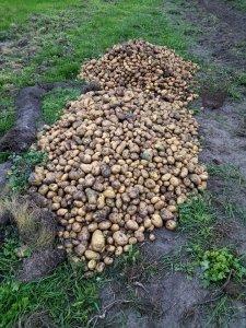 Ziemniaki po wykopkach