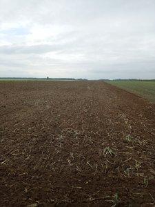 Zniszczone ściernisko po kukurydzy na kiszonke